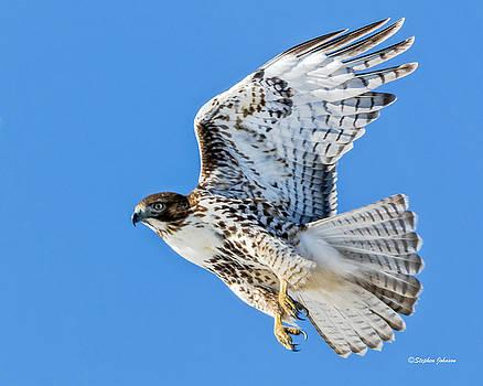 Light Morph Juvenile Red-tailed Hawk by Stephen Johnson