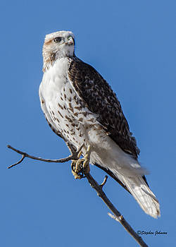 Light Morph Red-tailed Hawk by Stephen Johnson
