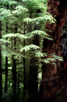 Light on Trees by David Chasey