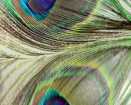 Angela Murdock - Light Peacock Reflections