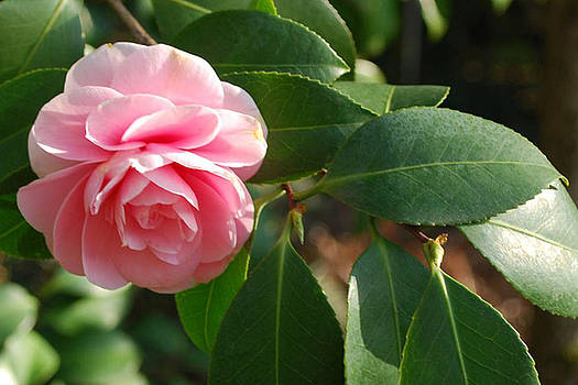 Light Pink Camellia by Linda Sramek