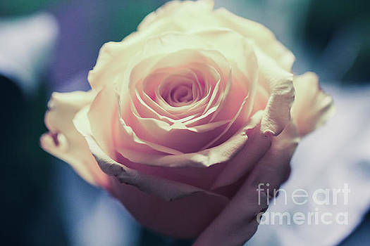 Light Pink Head Of A Rose On Blue Background by Amanda Mohler