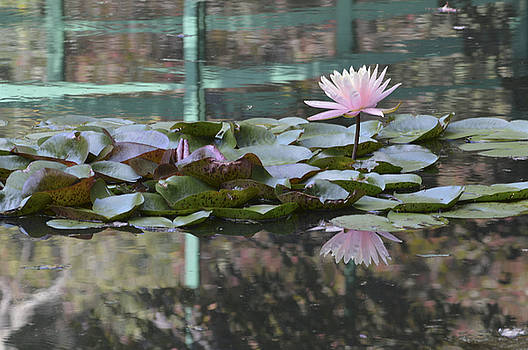 Light Pink Water Lily by Linda Geiger