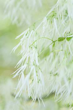 Lightness of White Fringetree by Jenny Rainbow