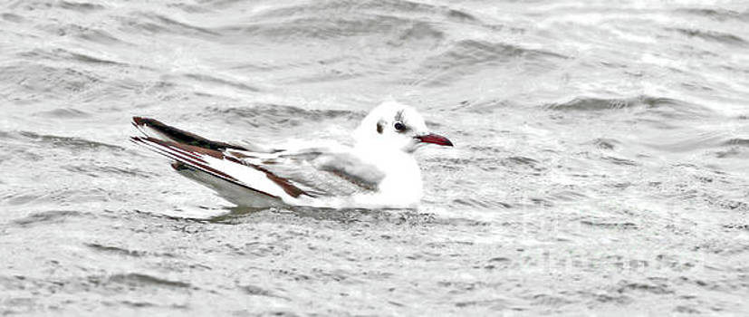 Lil Black-Headed Gull by Debbie Parker