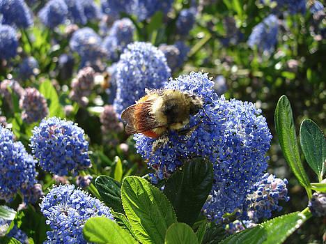 James E Weaver - Lilac a Bee