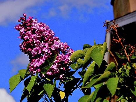 Lilac and Blue by Nik Watt