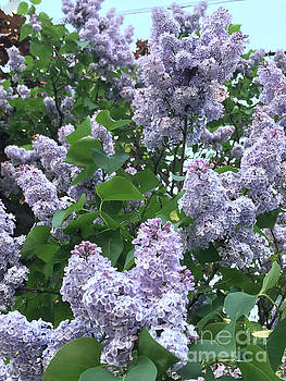Lilac Blossoms by Brandy Woods