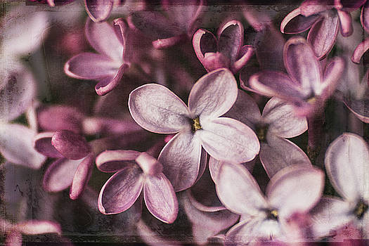 Lilac Blossoms by Cindi Ressler