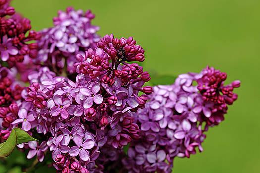 Debbie Oppermann - Lilac Bouquet