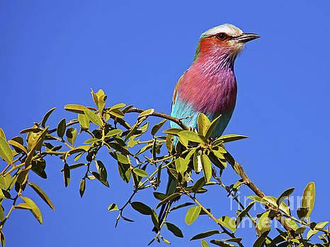 Lilac-Breasted Roller, Botswana, wildlife by Wibke W