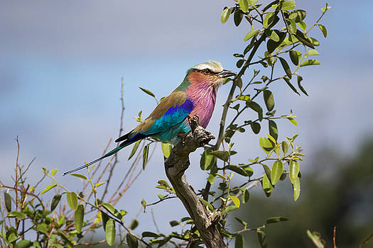 Lilac-breasted Roller in Botswana by Joscelyn Paine