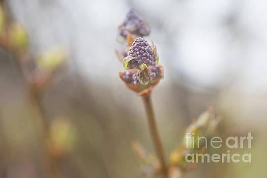 Jonathan Welch - Lilac Bud