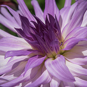Lilac Dahlia by Lee Fortier