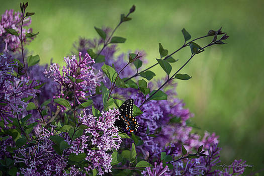 Lilac Enchantment by Karen Casey-Smith
