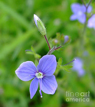 Lilac Flower by Julia Underwood