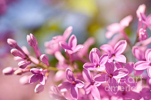 Lilac flowerets bright pink by Arletta Cwalina