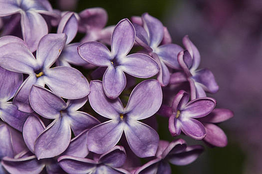 Lilac flowers by Jouko Mikkola