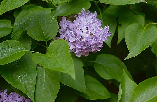 Lilac by Inessa Williams