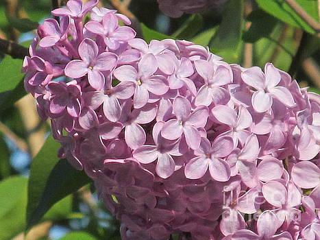 Lilac Premiere by Loretta Pokorny
