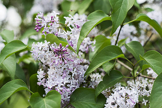 Newnow Photography By Vera Cepic - Lilac tree in the park