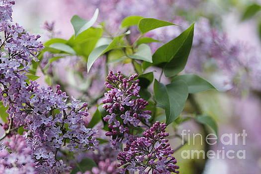 Lilacs 2015 by Geraldine Jane Ramos-Bittenbinder