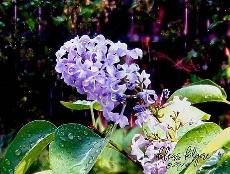 Lilacs by Deleas Kilgore