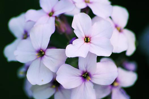 Lilacs in Color by Daniel Solone