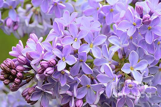 Regina Geoghan -  Lilacs-Lavender Lovely