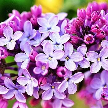 Lilacs by Penni D'Aulerio