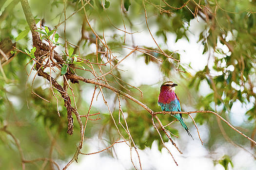 Susan Schmitz - Lilc Breasted Roller Bird in Tree