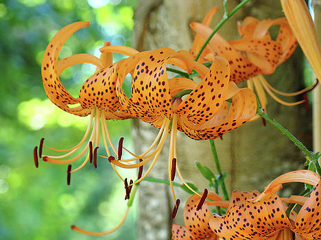 Baslee Troutman - Lilies art Orange Tiger Lily Flowers Baslee Troutman