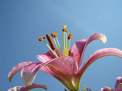 Baslee Troutman - LILIES Art Prints Pink Lily Flower Giclee Art Prints Baslee Troutman