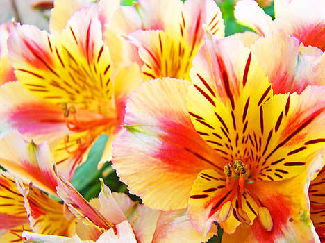 Baslee Troutman - LILIES Art Prints Pink Yellow Lily Flowers 1 Giclee Prints Baslee Troutman