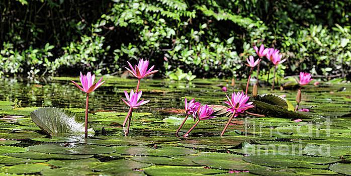 Chuck Kuhn - Lilies Water Vietnam