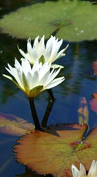Lillies at Selby Gardens by Sheryl Unwin