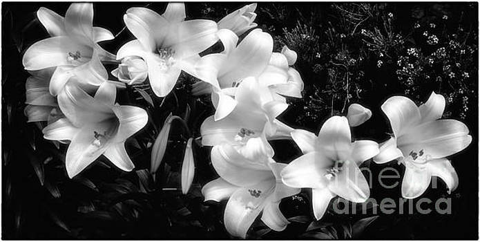 Lillies by James A Crawford