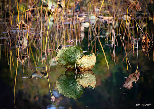 Lily Pad Reflection by Scott Fracasso