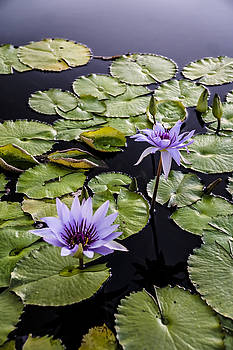Lilly Pads and purple flowers  by Sven Brogren