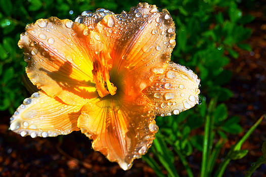 Lilly Sunrise by Tammy  Shiver