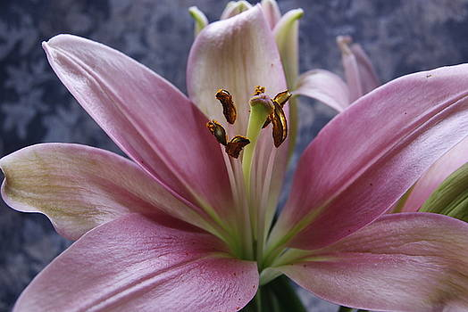 Lily by Diane Reed