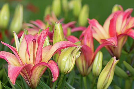 Steve Purnell - Lily Display