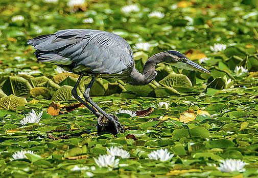 Lily Heron by Jerry Cahill