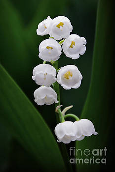 Lily of the Valley Blossoms by Catherine Sherman