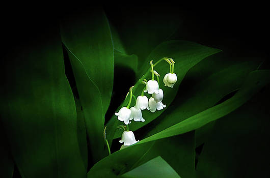 Lily of the Valley by Judy Johnson