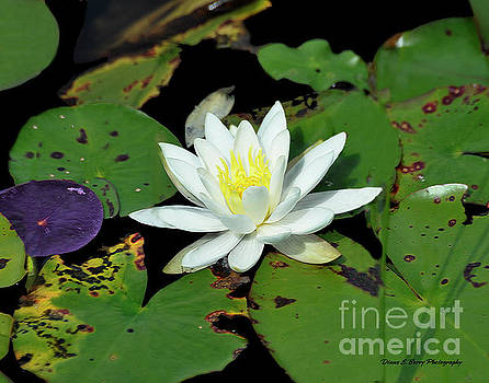 Lily Pad 3 by Diane E Berry