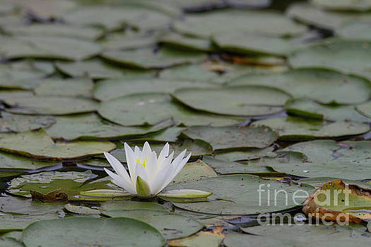 Lily Pad by Diana McPherson