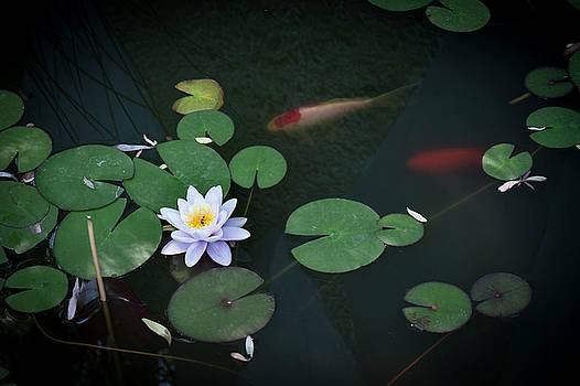Lily Pad Flower and Koi by Mary Lee Dereske
