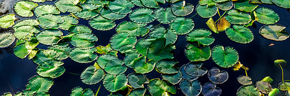 Lily pads on blue by Geoff Mckay