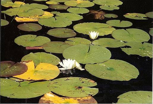 Lily Pads on mountain lake by Shane Rockey